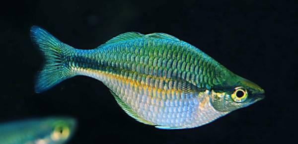 Bilde av  Blå Regnbuefisk 5-6cm