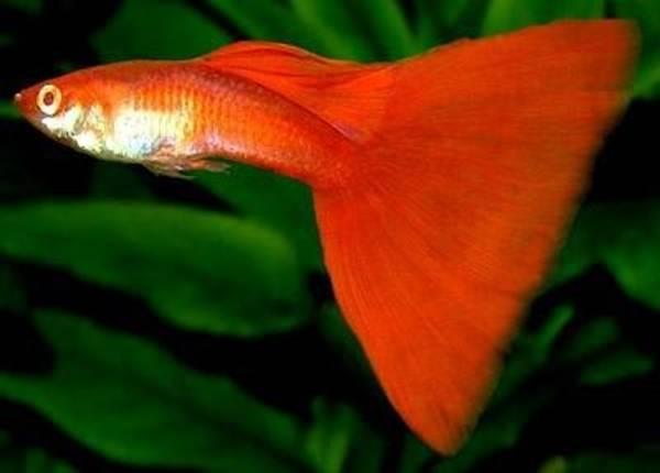 Bilde av Guppy Poecilia Reticulata Red Neon Par