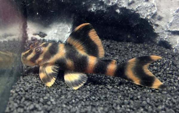 Bilde av L209 peckoltia sp. Red Tiger 3-4 cm