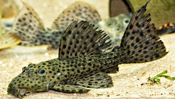 Bilde av  L160 Psudachantichus  Spinosus 3-4cm