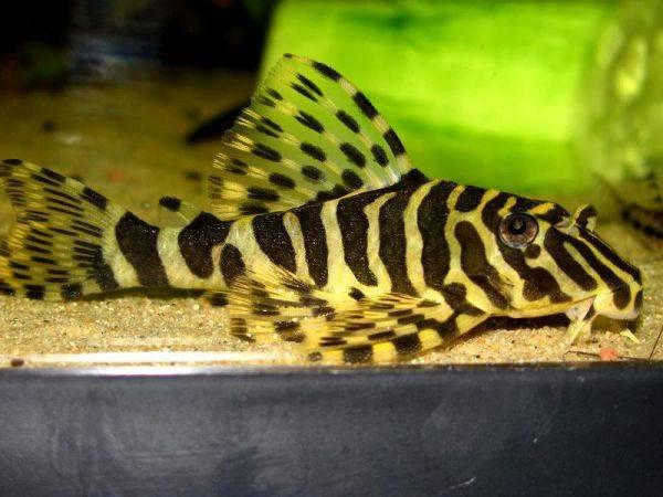 Bilde av  L134 peckoltia compta 5-7cm
