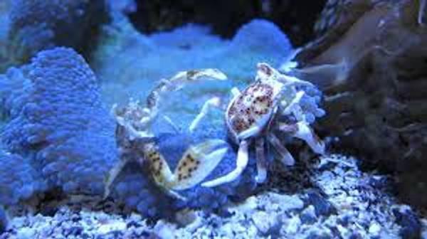 Bilde av Petrolistes  anemone Krabbe