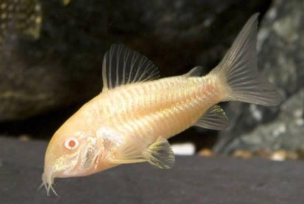 Bilde av Corydoras Albino
