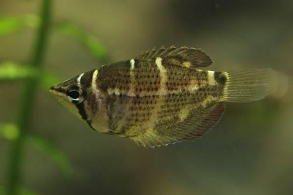 Bilde av Sjokolade Gurami VF  / Sphaerichthys osphromenoides