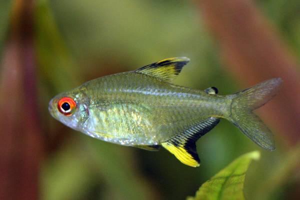 Bilde av Hyphessobrycon pulchripinnis ( Sitron Tetra)