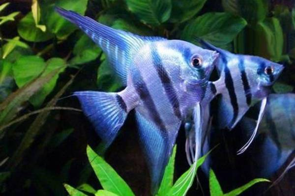 Bilde av Scalare Blue Neon  3-4cm